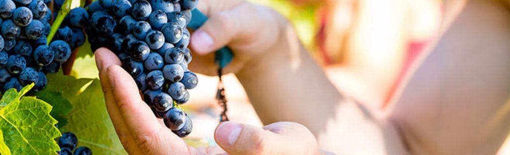 viticole sussargues
